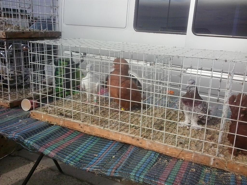 На выставке голубей в Копанях