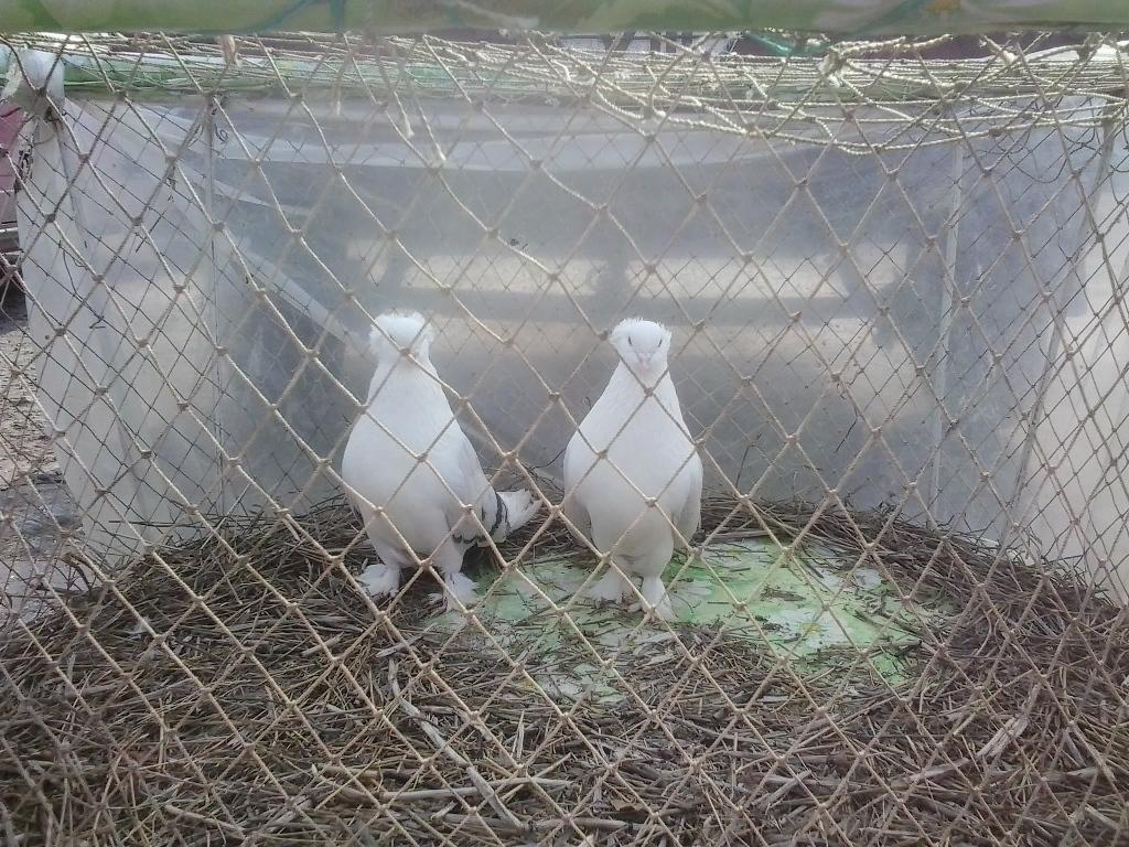 Выставка голубей 2015